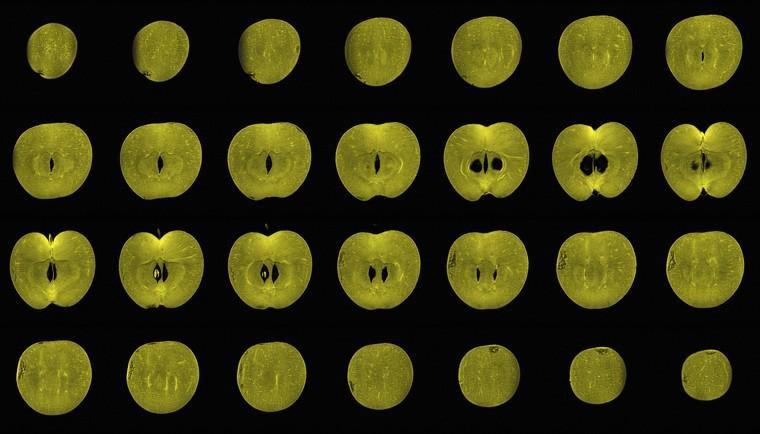 Apple, sagittal view, MRI. Credit: Credit: Alexandr Khrapichev, University of Oxford. (CC BY 4.0)